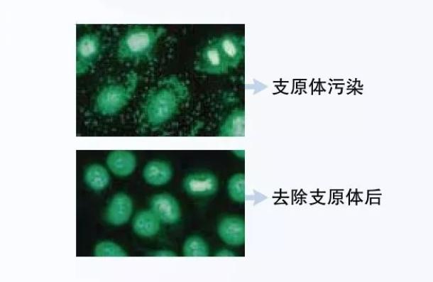 使用Procell支原体清除培养基处理之后的细胞